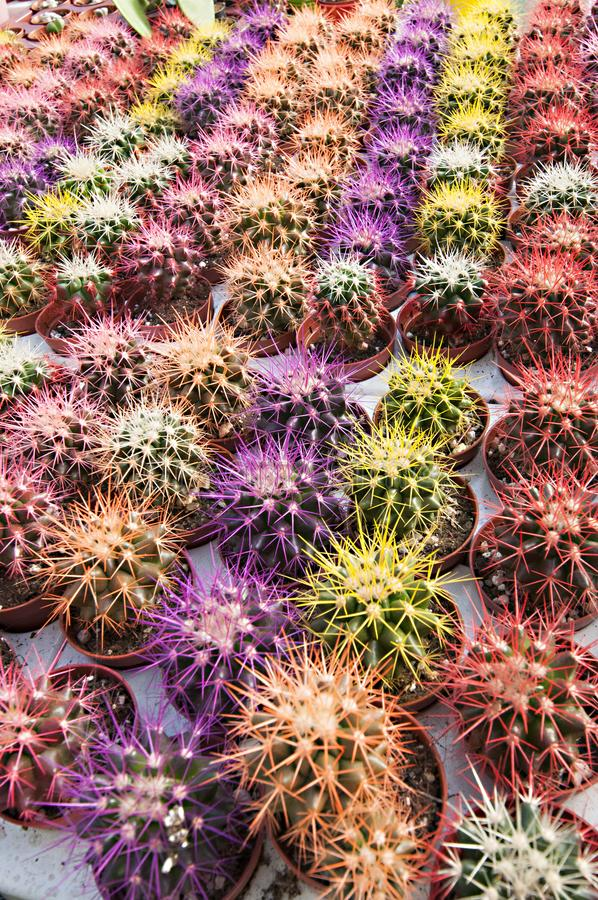 Berçário do cacto - muitas flores pequenas imagens de stock