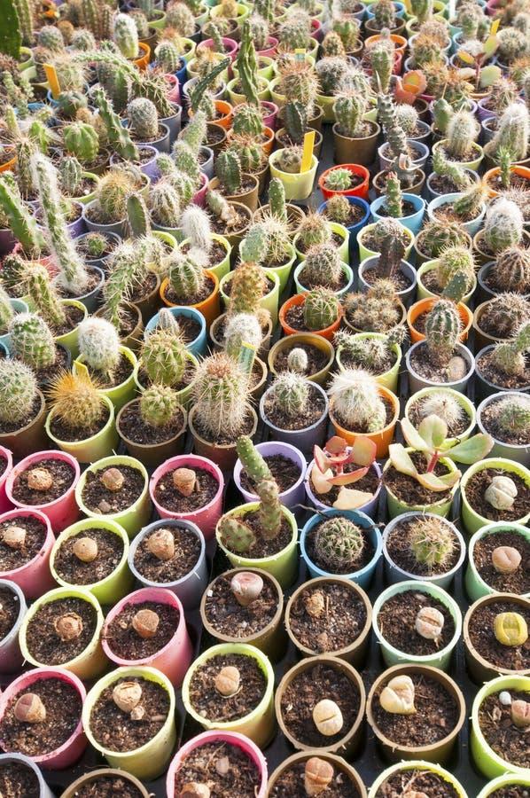Berçário do cacto - muitas flores pequenas foto de stock royalty free