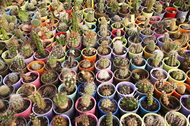 Berçário do cacto - muitas flores pequenas imagem de stock royalty free