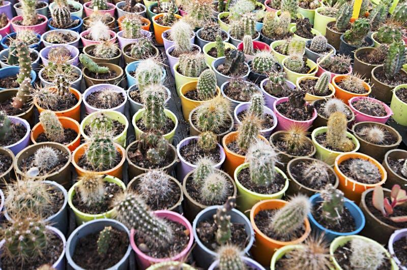 Berçário do cacto - muitas flores pequenas fotos de stock royalty free