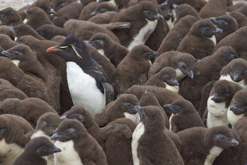 Berçário do pinguim de Rockhopper - Falkland Islands imagens de stock royalty free