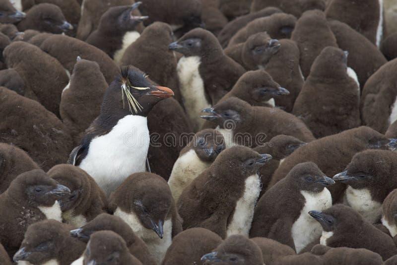 Berçário do pinguim de Rockhopper - Falkland Islands fotografia de stock