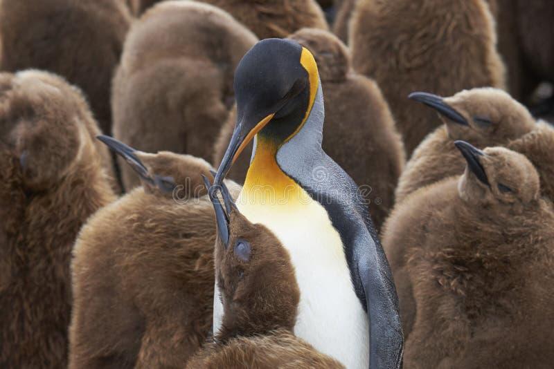 Berçário do rei Penguin em Falkland Islands fotos de stock royalty free