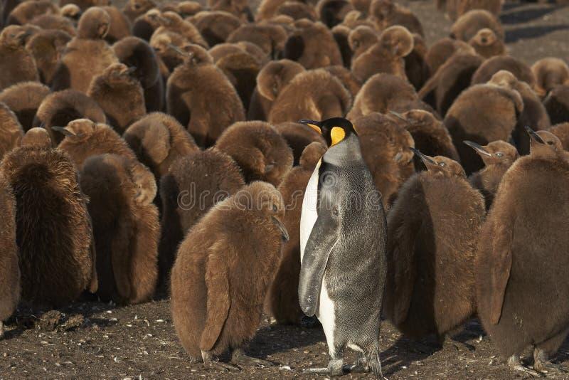 Berçário do rei Penguin em Falkland Islands foto de stock