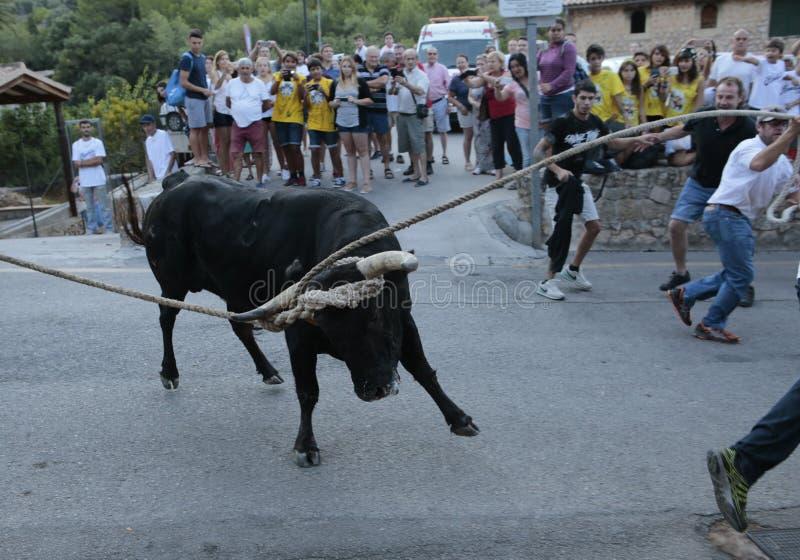 Beröm för tjurkörning i Mallorca, Spanien arkivbild