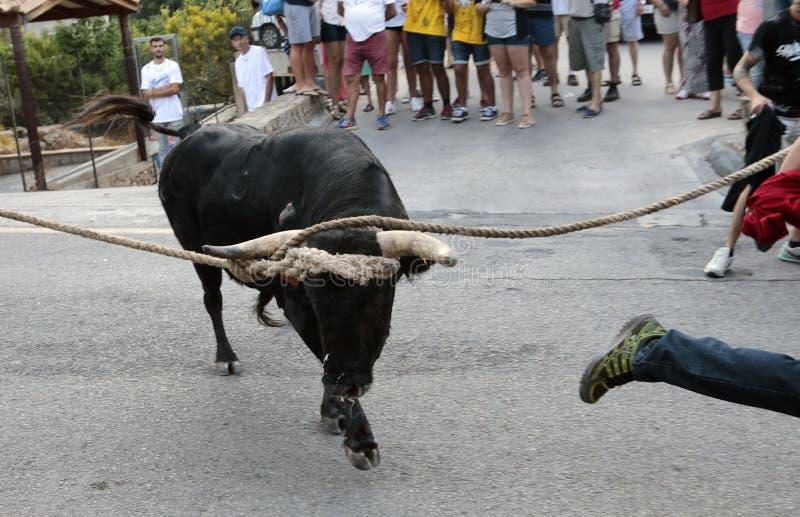 Beröm för tjurkörning i Mallorca, Spanien royaltyfri foto