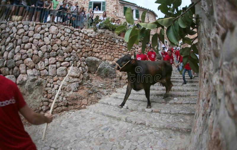 Beröm för tjurkörning i Mallorca, Spanien arkivfoto