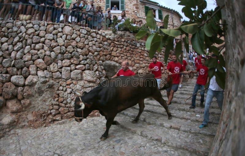 Beröm för tjurkörning i Mallorca, Spanien arkivbilder