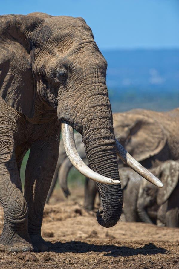Berömda elefantbeten royaltyfri fotografi