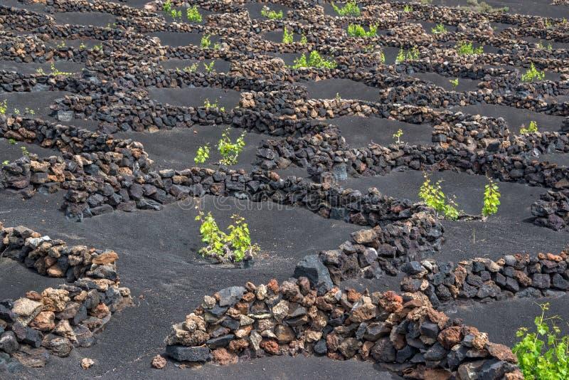 Berömda vingårdar av La Geria på vulkanisk jord i Lanzarote, kanariefågelöar Spanien arkivbild