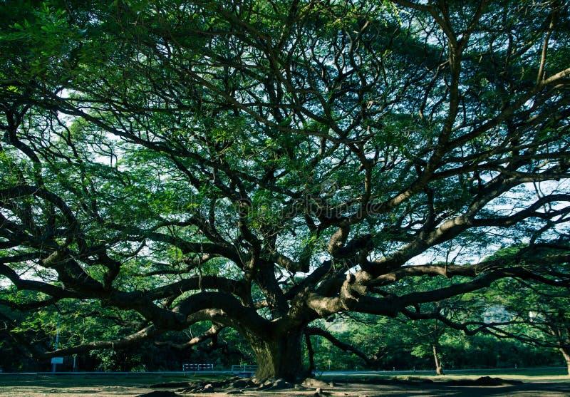 Berühmter Regenbaum mit dunklem Licht lizenzfreie stockbilder