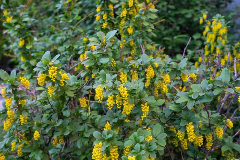 Berbéris de plante médicinale pendant la floraison au printemps Format horizontal de photo photographie stock libre de droits