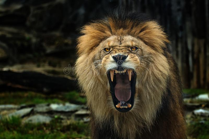 The Berber Lion with open mounth. Photo from live animal on wthe world royalty free stock photo