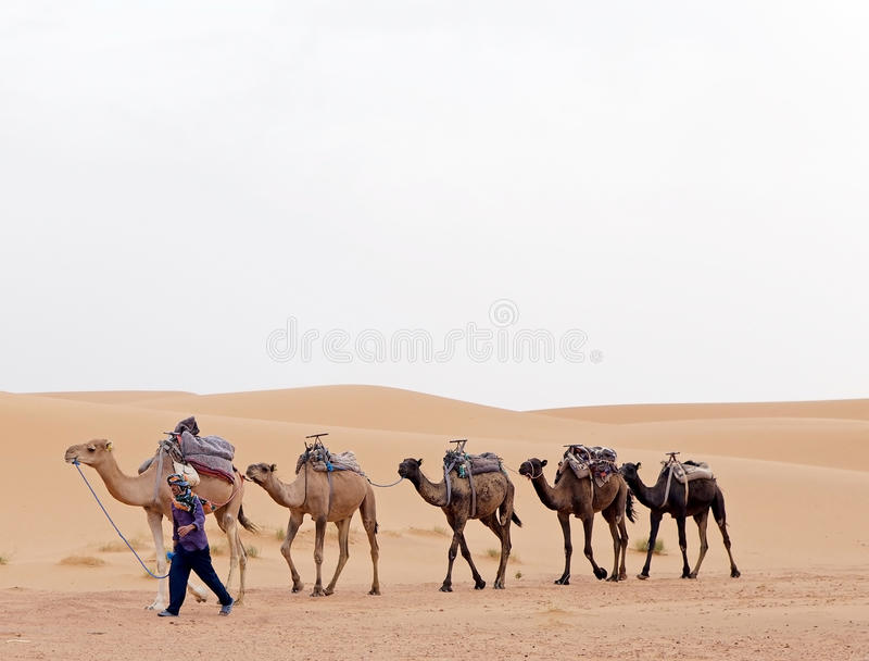 Berber man with camels. Morocco, Erg Chebbi: Berber man with camels among the dunes. Berbers are the indigenous ethnic group of North Africa west of the Nile stock photo