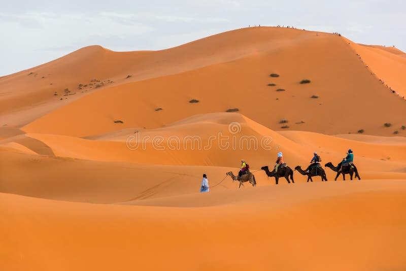 Berber man leading camel caravan, Merzouga, Sahara Desert, Morocco. In Africa stock photography