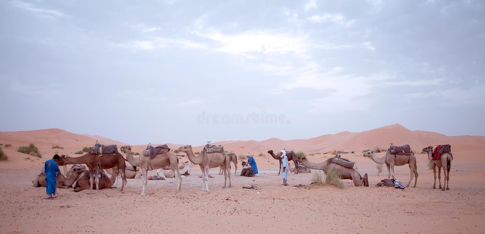 Download Berber men with camels editorial photography. Image of morocco - 27817092