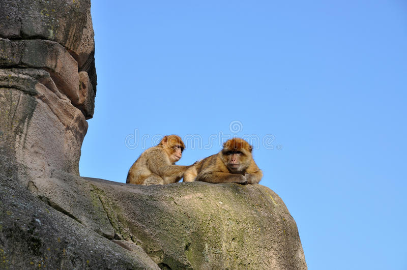 Download Berber Monkey Looking For Fleas Stock Image - Image of animal, mammal: 17531155