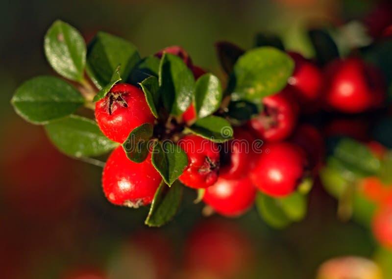 Berberis Berries in the Fall. Shot in natural daylight stock photo