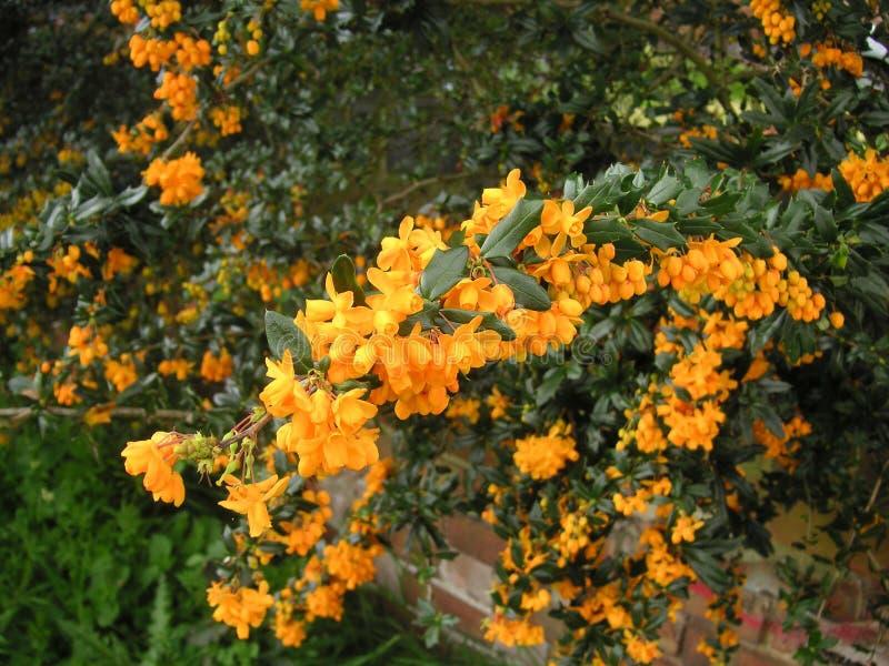 Berberis bush. Flowers on the berberis bush royalty free stock images