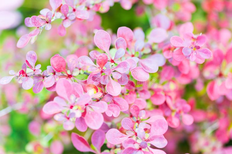 Barberry Plant or Berberis. Berberis, commonly known as barberry, is a large genus of deciduous and evergreen shrubs. Shrub plant with reddish to purple leaves stock image