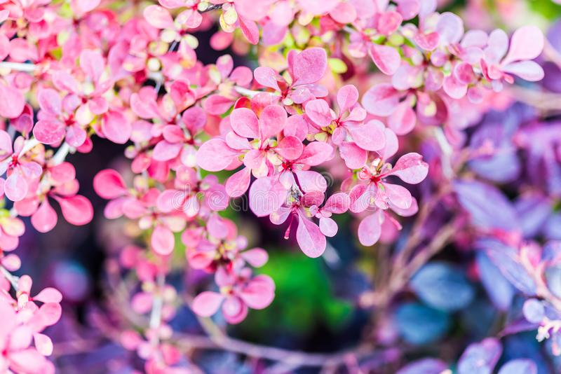 Barberry Plant or Berberis. Berberis, commonly known as barberry, is a large genus of deciduous and evergreen shrubs. Shrub plant with reddish to purple leaves stock photos