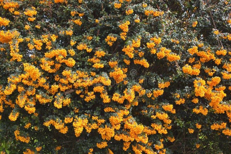 Berberis darwinii. A background image of the orange flowers of berberis darwinii and dark green foliage stock photo