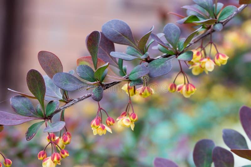 Berberis, flores amarillas del bérbero en macro de la ramita imagen de archivo