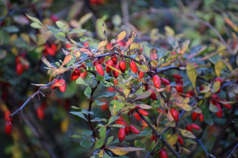 Berberis fruits in autumn. Berberis are colorful autumn fruits ans it also used as food species stock photography