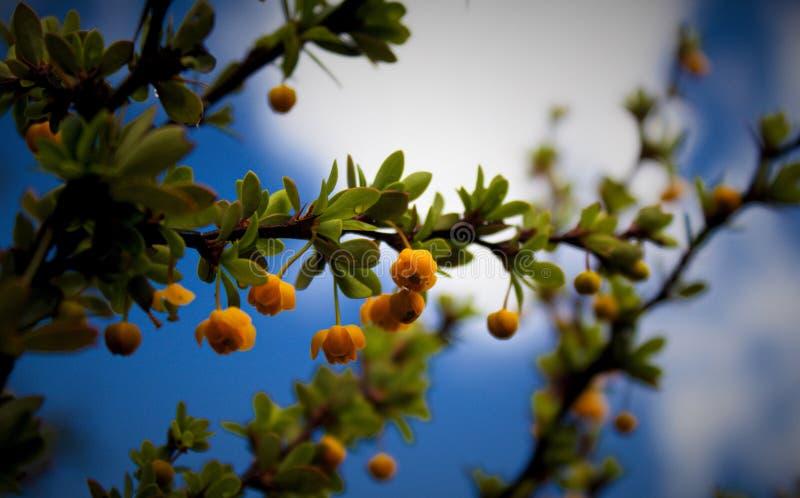 Berberis heterophylla niebo i kwiaty zdjęcia stock