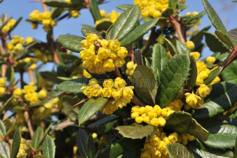 Berberis julianae. Ist Chinese barberry stock photos