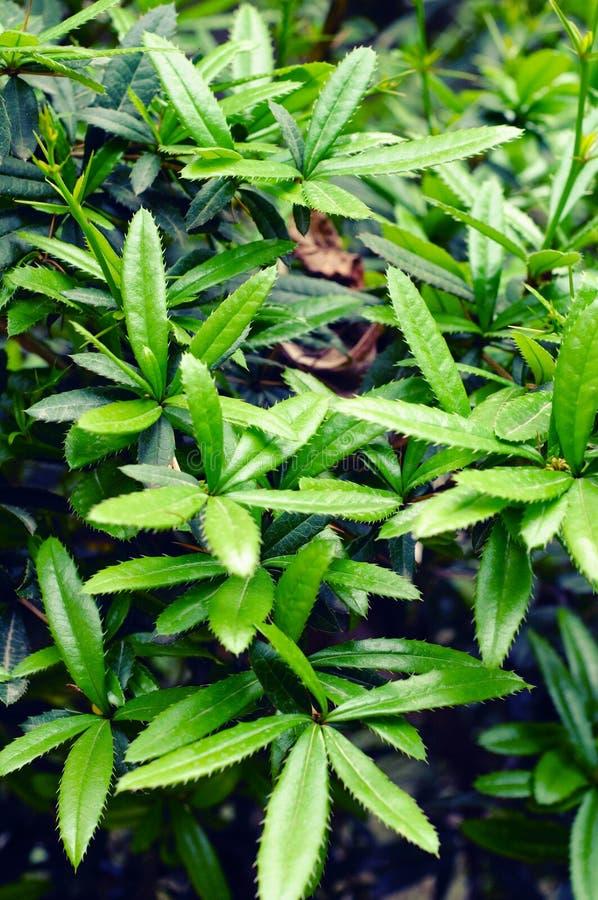 Berberis julianae - barberries. Wintergreen barberries- berberis julianae in the spring stock photo