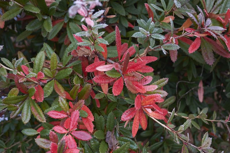 Berberis julianae with frost. Colorful and frosted branch of Berberis julianae shrub stock image