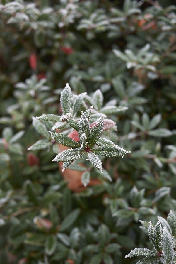 Berberis julianae with frost. Frosted branch of Berberis julianae shrub stock photos
