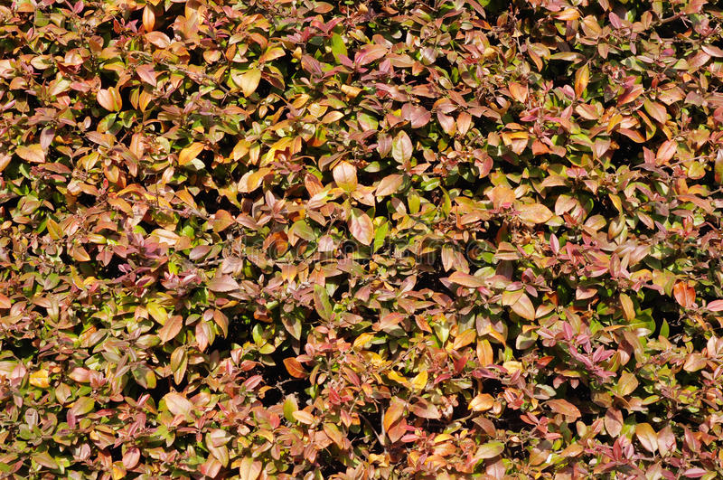 Berberis julianae (Wintergreen barberry or Chinese barberry) royalty free stock image