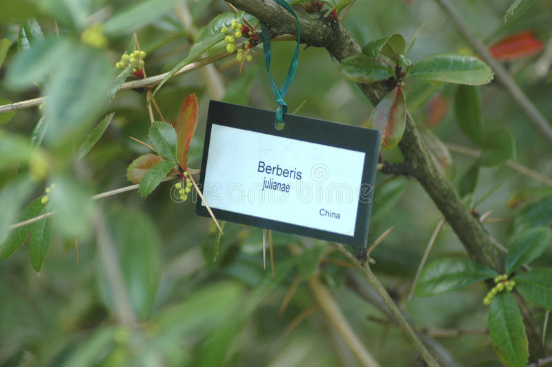 Berberis Juliante. Shrub with Botanical Label royalty free stock photo