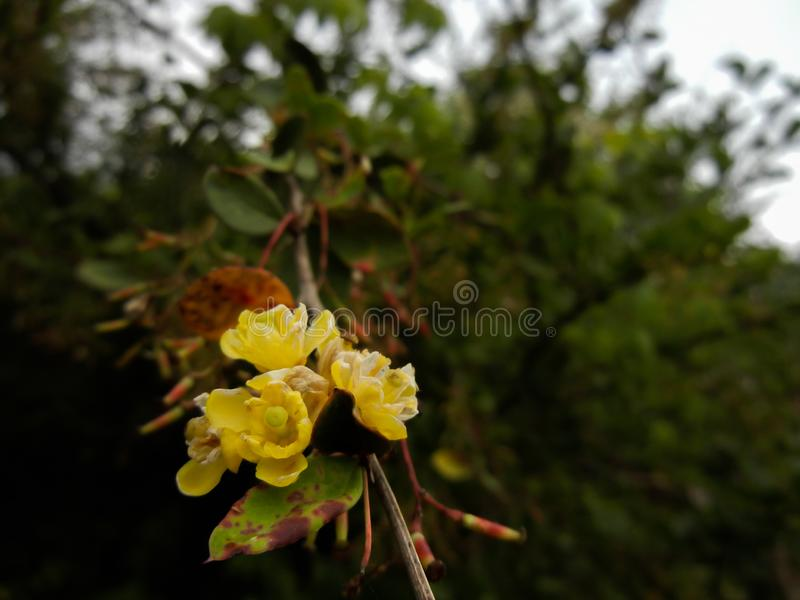 Berberis nella natura selvaggia, fotografia bella fotografia stock libera da diritti