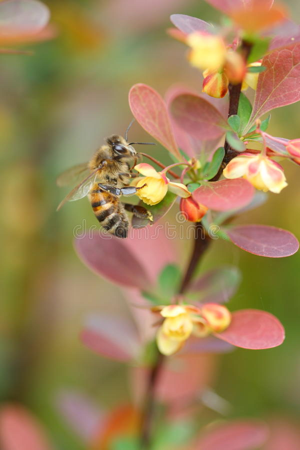 Berberis ottawensis supera and the bee. Spring royalty free stock image