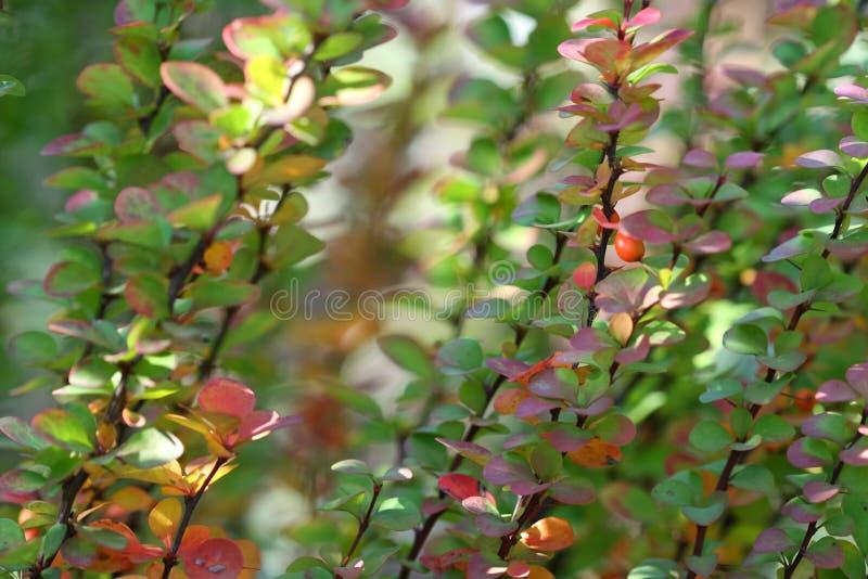 Berberis Ottawensis Supera. Herbst stockfoto