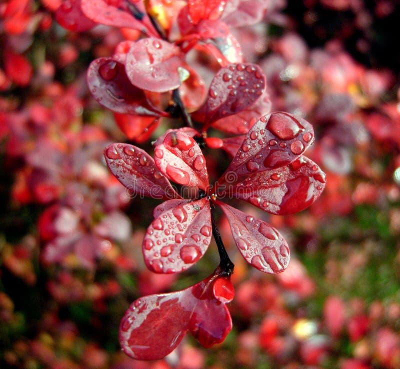 Berberis in rain. The deep red leaves of a Berberis shrub, on a rainy, sunny morning stock photography