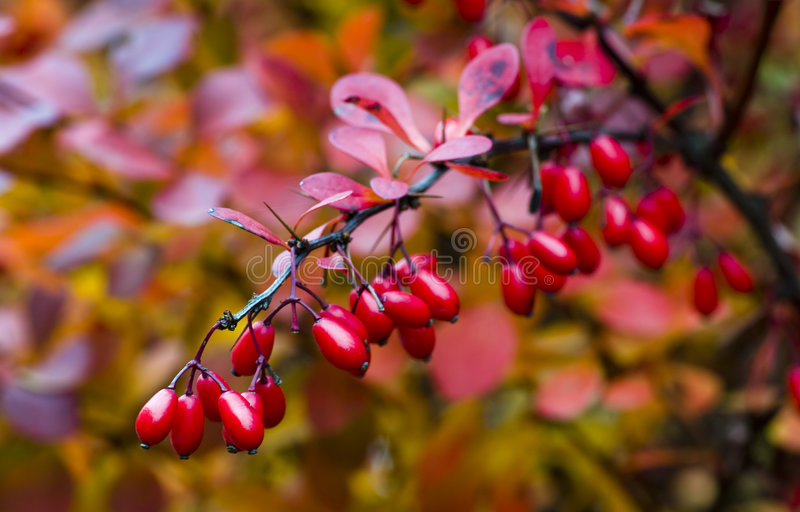 Berberis thunbergii stock photo