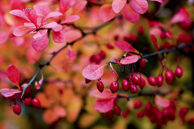 Berberis thunbergii. Ripe and red barberries shrubs with fruits, closeup royalty free stock photography