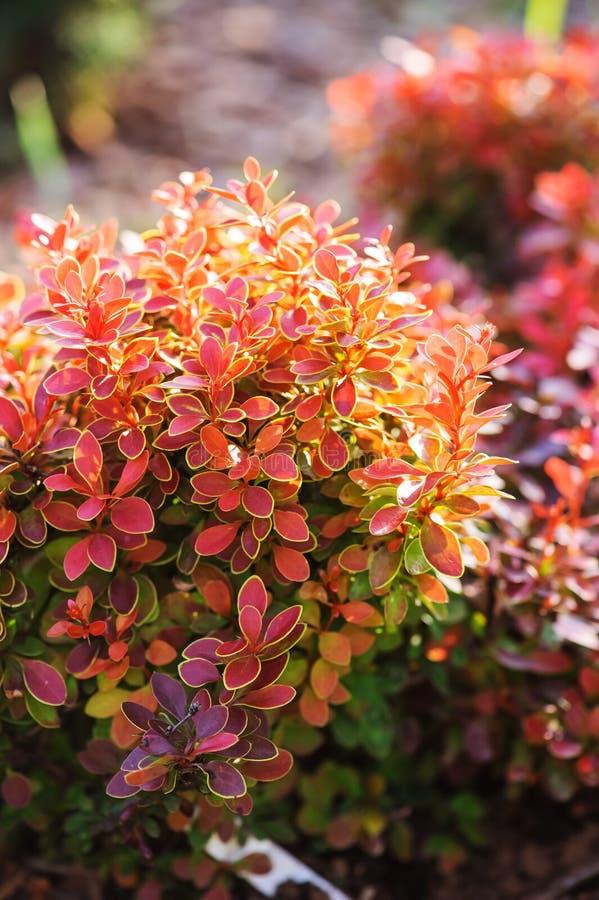 Berberis thunbergii Admiration close up in summer. Garden stock photo