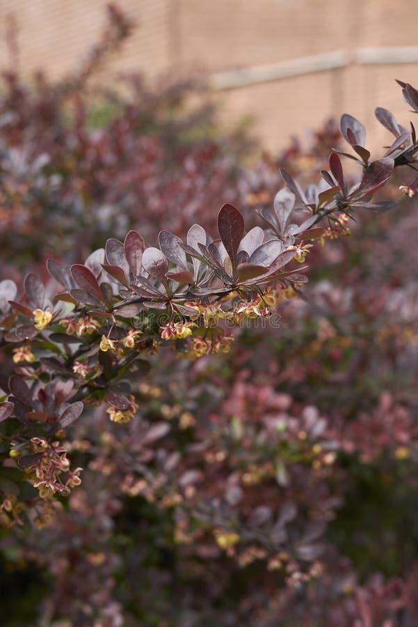 Berberis thunbergii atropurpurea shrub close up stock images