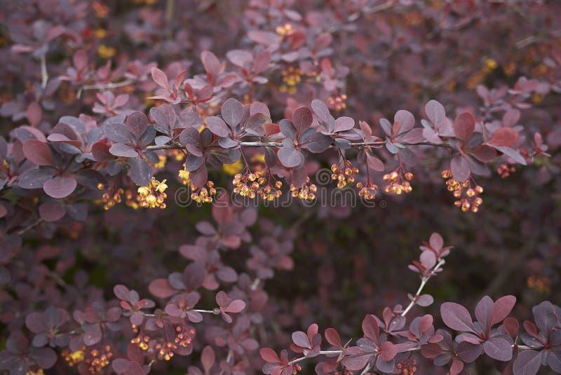 Berberis thunbergii atropurpurea shrub stock images