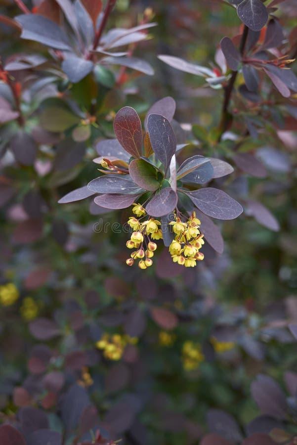 Berberis thunbergii atropurpurea shrub stock photography