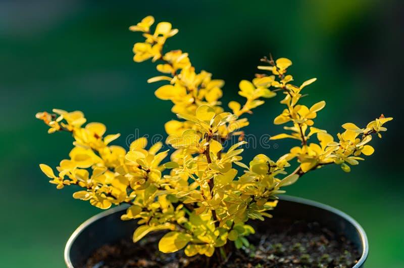 Berberis Thunbergii Aurea ou Barberry Shrub, arbusto próximo com folhas amarelas Caça de um amora jovem imagens de stock royalty free