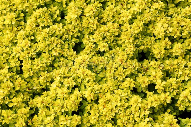 Berberis thunbergii. Cultivar Bonanza gold. Shrub with yellow leaves. Yellow natural background royalty free stock photography