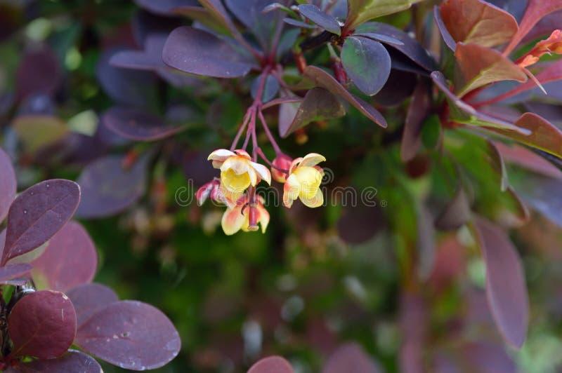 Download Berberis Thunbergii Flower Cluster Closeup Stock Photo - Image of precious, closeup: 104289580
