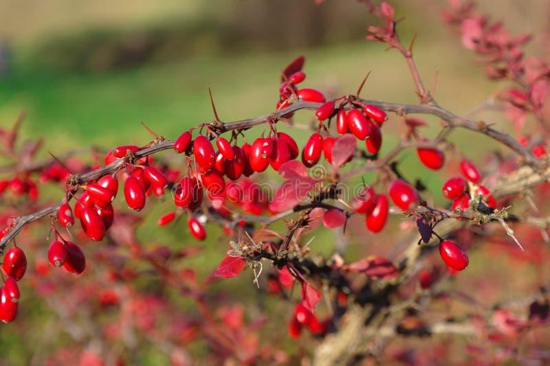 Berberis thunbergii. Red fruits on Berberis thunbergii stock photo