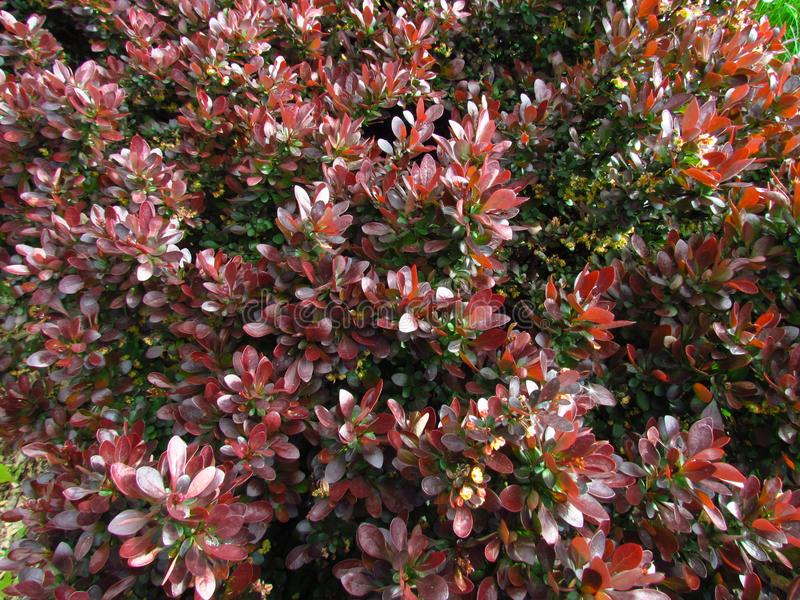 Berberis thunbergii, variety with red leaves, deciduous garden shrub. Natural photo background royalty free stock photo